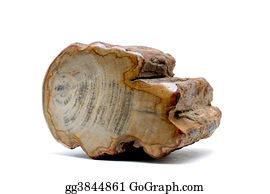 Fossil - Petrified Wood