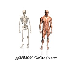 Anatomically - Anatomy Of The Man With Skeleton..