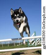 Huskies - Jumping Puppy Husky