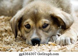 Huskies - Husky Puppy