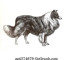 Border-Collie - Illustration Of Collie