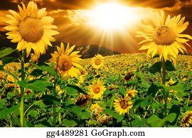 Plantation - Sunflowers