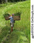 Cultivation - Cultivation Of Rice