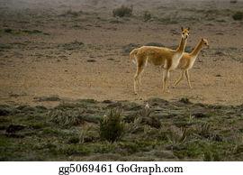 Alpaca - Rare Vicunas