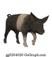 Boar - Hampshire Pig