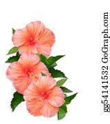 Orange-Border - Hibiscus Flowers White Background