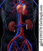 Human-Kidney-Medicine-Anatomy - Cardiovascular System