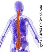 Human-Kidney-Medicine-Anatomy - Highlighted Spine