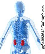 Human-Kidney-Medicine-Anatomy - Highlighted Kidneys