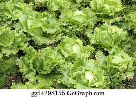 Cultivation - Agriculture-Lettuce Closeup