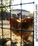 Hen - Hen On A Farm
