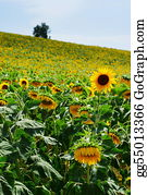 Cultivation - Sunflower Cultivation