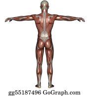 Biceps - 3d Muscle Of Man