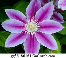 Clematis - Clematis Flower