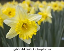 Daffodil - Daffodil With Soft Focus On Background