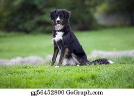 Border-Collie - Dog - Sitting Happy