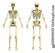 Anatomically - Skeleton Front & Back