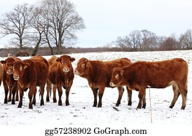 Freezing-Cold - Limousin Cows In Winter Snow
