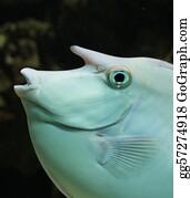 Beautiful-Unicorn - Unicorn Surgeonfish - Naso Unicornis