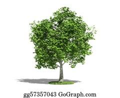 Plantation - Maple