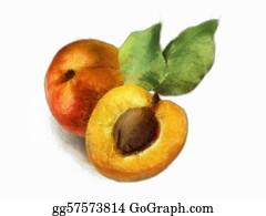 Nectarine - Peach