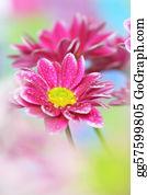 Chrysanthemum - Close-Up Of Chrysanthemum;