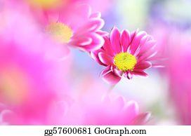 Chrysanthemum -  Chrysanthemum
