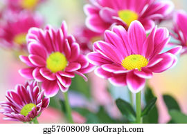 Chrysanthemum - Close-Up Of  Chrysanthemum