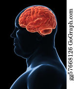 Fat - Overweight Male - Brain