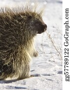Freezing-Cold - Porcupine In Winter