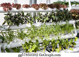 Cultivation - Vegetables Hydroponics In Greenhouses.