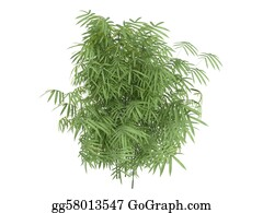 Leaf-And-Oxygen - Golden Fishpole Bamboo Or Phyllostachys Aurea