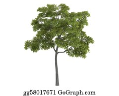 Leaf-And-Oxygen - Black Walnut Or Juglans Nigra