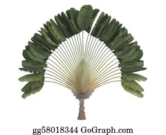 Leaf-And-Oxygen - Traveler's Palm Or Ravenala Madagascariensis