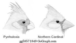 Cardinal-Bird - Comparison Of Cardinalid Heads
