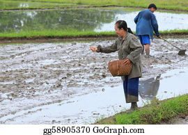 Cultivation - Farmers Are Sowing Paddy For Rice Cultivation