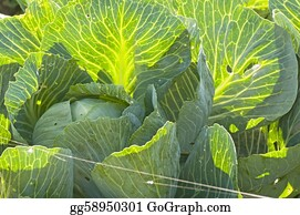 Cultivation - Cultivation Of Kale