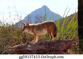 Prairie - Desert Coyote