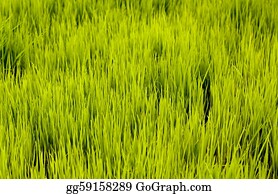 Cultivation - Rice Seedlings