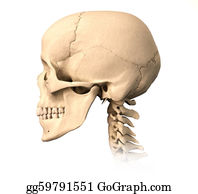 Jaw - Human Skull, Side View.