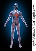 Heart-Surgery - Human Blood Circulation