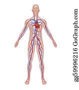 Heart-Surgery - Human Circulation Anatomy
