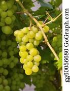 Nectarine - Sweet Grapes