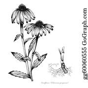 Herbs - Coneflower