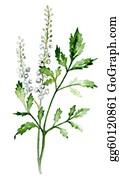 Herbs - Black Cohosh