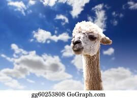 Alpaca - Lama Head Agaisnt Sky Background