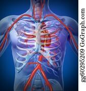 Heart-Surgery - Human Heart Circulation In A Skeleton