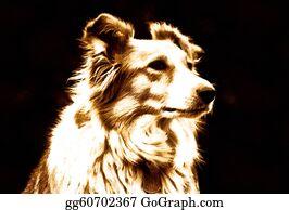 Border-Collie - Pet Border Collie Dog