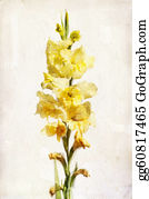 Gladiolus - Watercolor Yellow Gladiolus