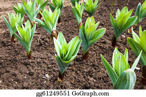 Cultivation - Garlic Plant